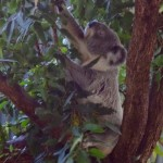 Billabong Koala