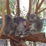 Koalas fetzen, die Erste...