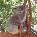 Koalas fetzen, die Zweite...