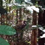 Daintree Nationalpark 0047