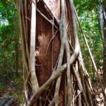 Daintree Nationalpark 0069