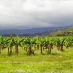 Mossman Bananenplantagen