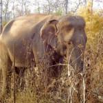 Elefant im York Don Nationalpark