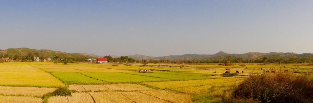 Reisanbau überall