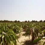 Drachenfruchtplantage - die ist einfach soooo lecker :-)