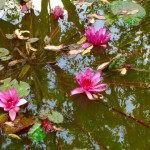 Lotusblüten
