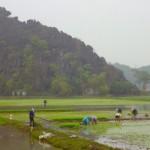 Ning Bing - alle Arbeiten fleißig auf den Reisfeldern