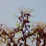 Battambang - Fledermäuse mitten im Village und nicht in der Höhle